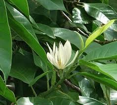 Hoa Ngọc Lan Bình Dương