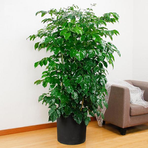 cây hạnh phúc tặng Tân Gia
